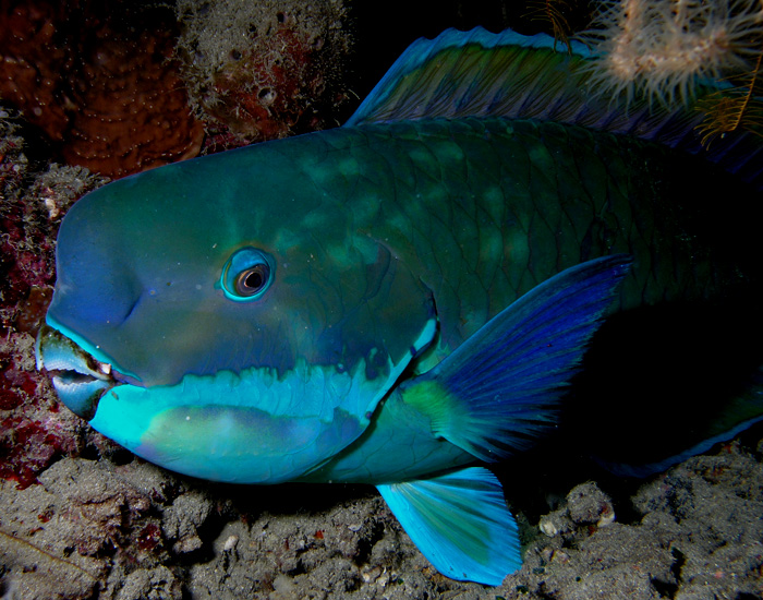 Parrotfish have sharp beak-like teeth that help them scrape algae off of coral, breaking off small pieces in the process. (Credit: Nhobgood via Wikimedia Commons)
