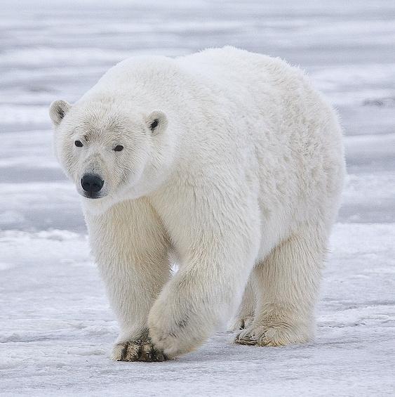 Polar_Bear_-_Alaska_(cropped)