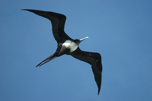 Great_frigatebird_Lady_Elliot_Island,_Queensland