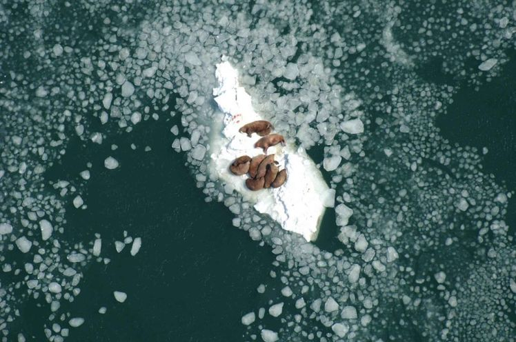 1024px-walrus_cows_and_bulls_resting_on_sea_ice