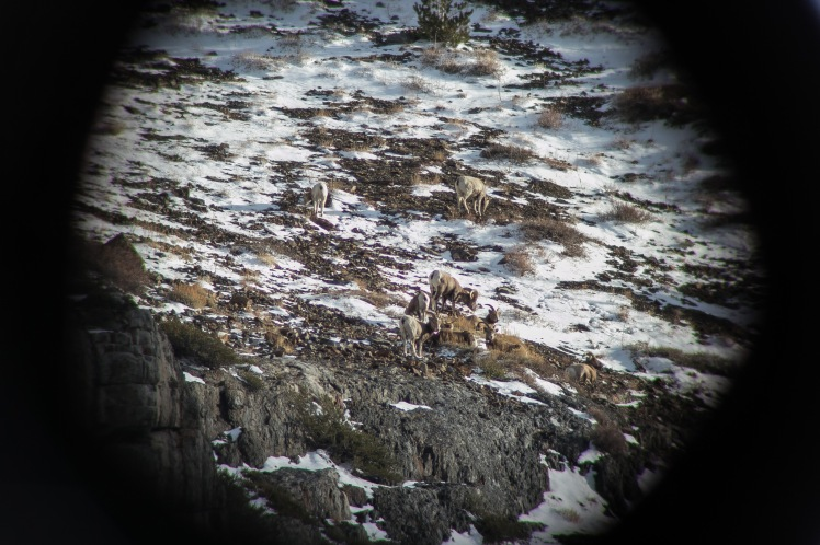 Bighorn through scope