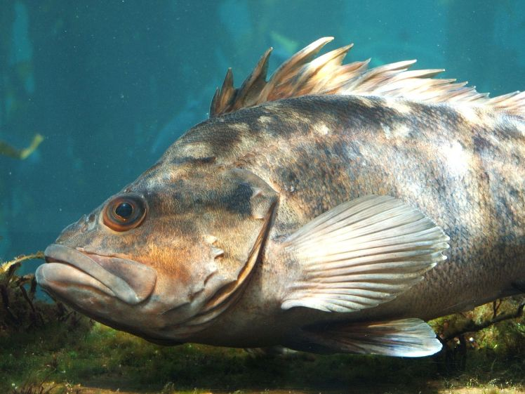 1280px-Rockfish_(Sebastes_spp.)_01