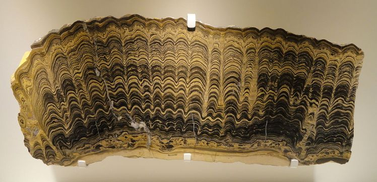 1024px-Stromatolite,_Greysonia_sp.,_Vendian,_Bolivia_-_Houston_Museum_of_Natural_Science_-_DSC01363
